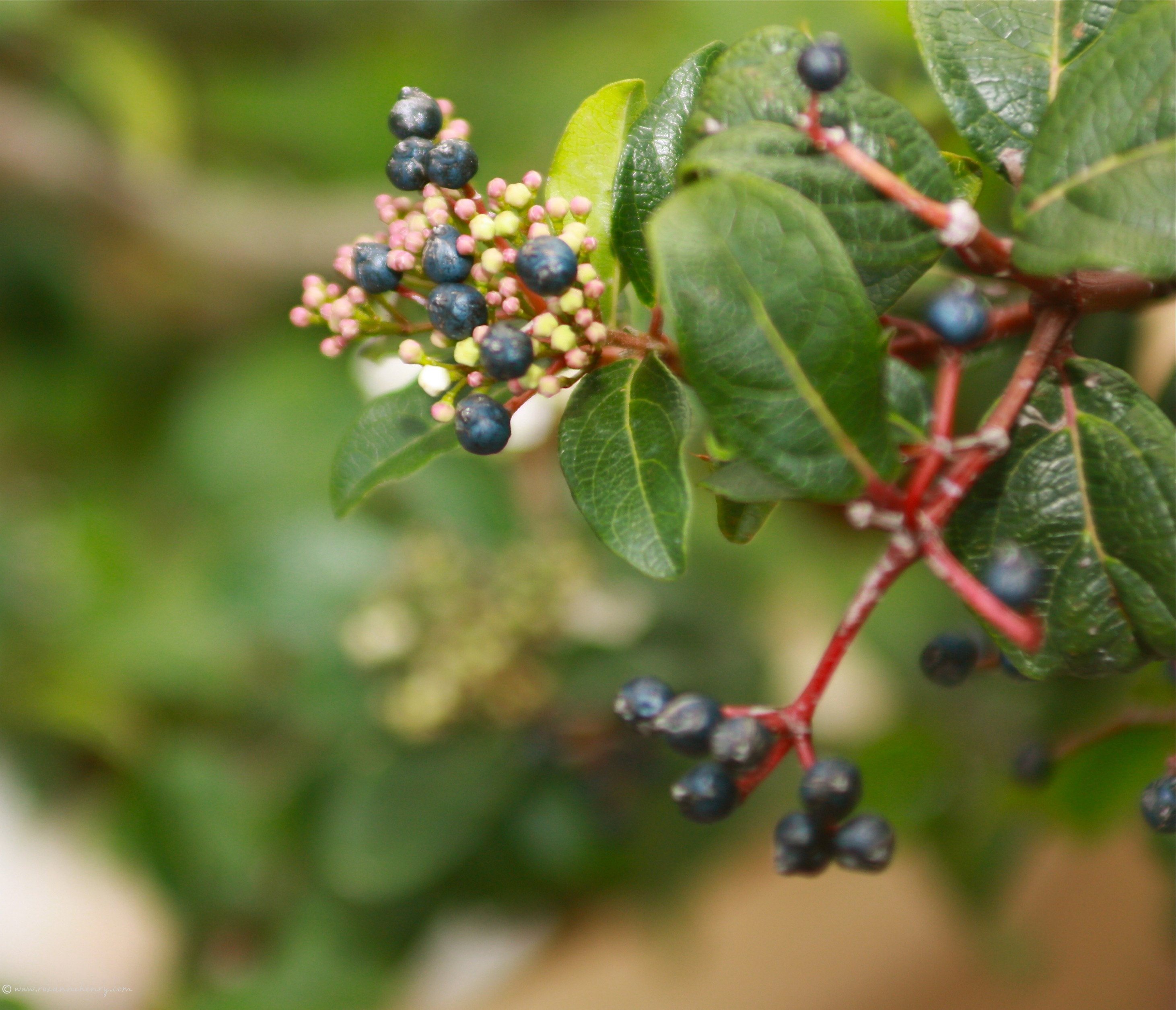 berry plant outside my studio.jpg